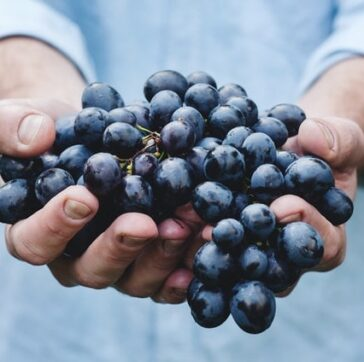 arms extended, with hands fulls of concord grapes
