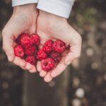 fresh raspberries in open hands