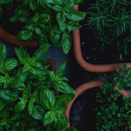 four pots of fresh green herbs